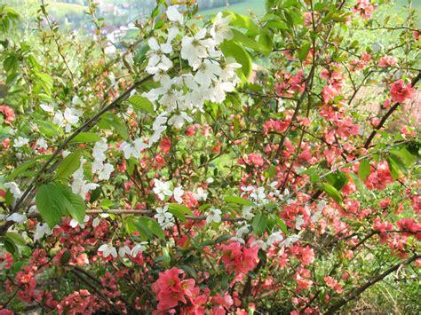 il fiore di maggio fiori di maggio oculus perpetuus