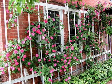 rose trellis plans rose trellis pictures to pin on pinterest pinsdaddy