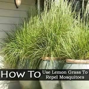 lemon grass repels mosquitoes flowers plants