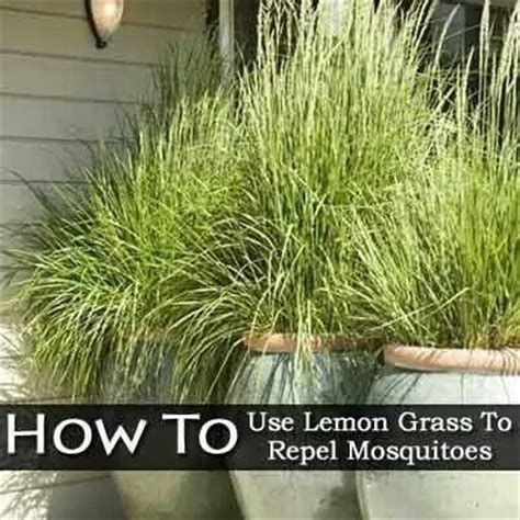 lemon grass repels mosquitoes flowers plants gardening pintere
