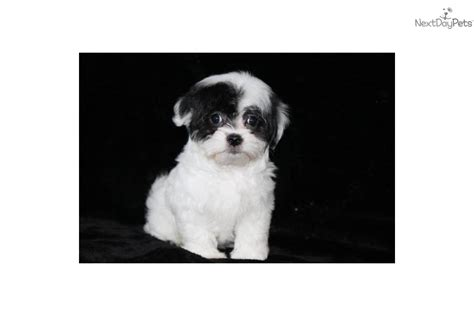 coton de tulear puppies for adoption coton de tulear puppy for sale near dallas fort worth 15fe2baf a541