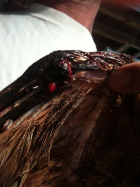 nail bleeding won t stop 13 week chicken wing bleeding won t stop help advise backyard chickens