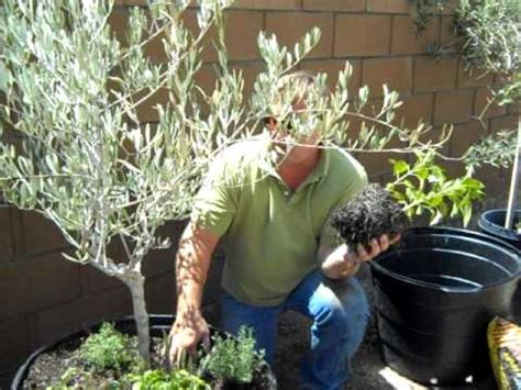container gardening olive tree planting youtube