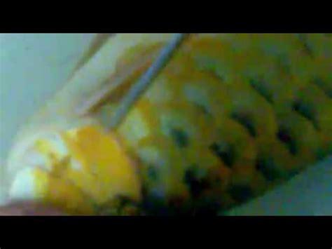 Obat Bius tehnik menggunting insang arwana mp4
