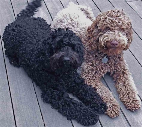 Labradoodle Do They Shed by Labradoodle Designer Breed Labs X Poodles Hybrid
