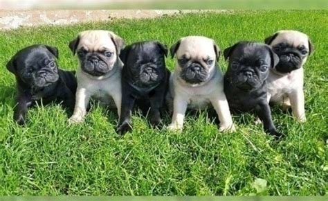 pug x puppies for sale malti pug maltese x pug puppies for sale offer 265