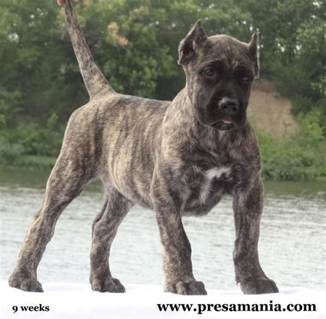 puppy ear cropping near me 13 best images about presa canario on katana pups for sale and photo