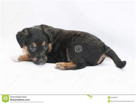 small black puppy small black puppy with brown spots looks turning shoul stock photography