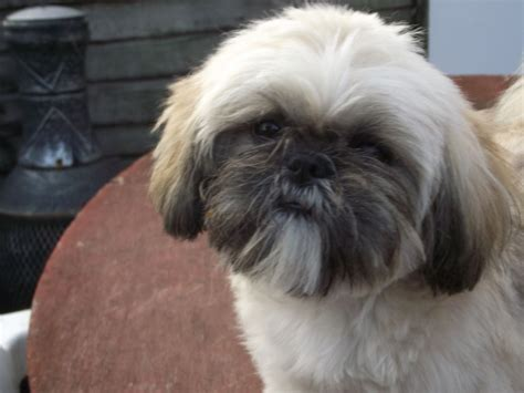 white and gold shih tzu pretty gold and white shih tzu 8 month tamworth staffordshire pets4homes