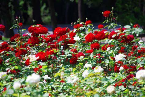 field of roses paul militaru