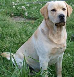 small lab labrador retriever pictures dog breed pictures small large