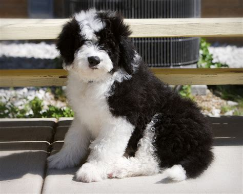 sheepadoodle puppies pa related keywords suggestions for mini sheepadoodle