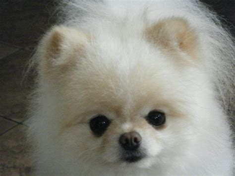 how to take care of a pomeranian pomeranian puppies for sale would you like to more about pomeranians see our