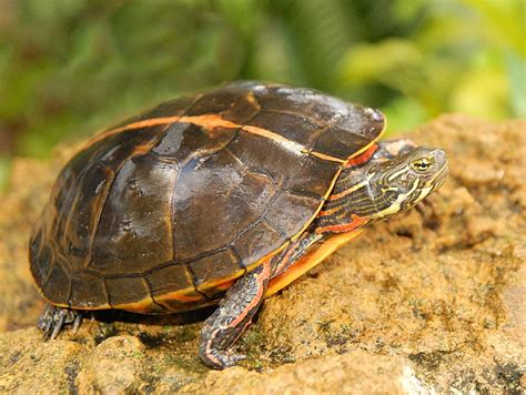 southern painted turtles for garden ponds for sale from