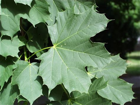 isu forestry extension tree identification maple acer plantanoides