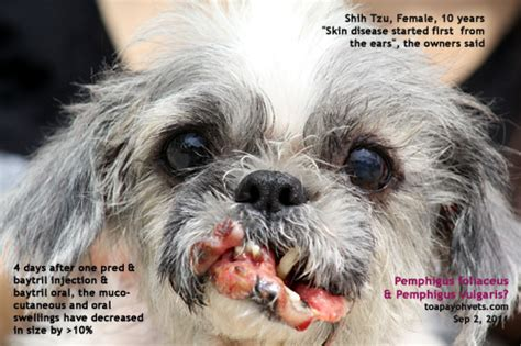 shih tzu common health problems shih tzu skin problems breeds picture