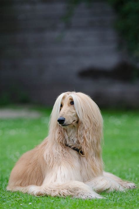 breeds and personalities breeds afghan hound temperament and personality dogalize