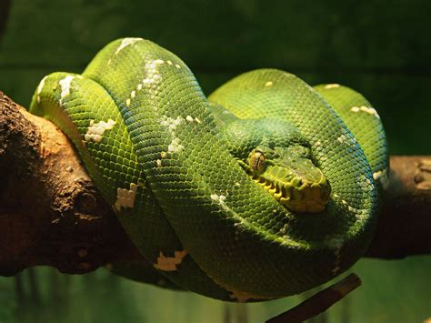 emerald tree boa wallpapers backgrounds
