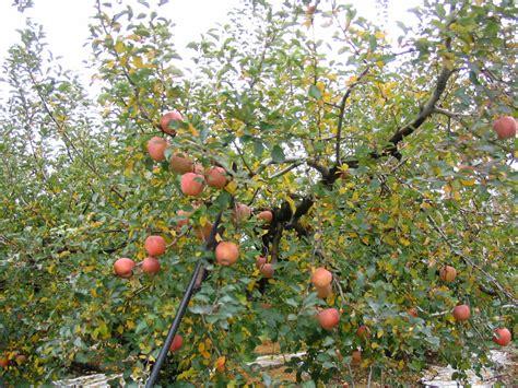 apple tree the writer apple tree