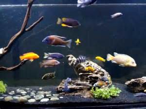 African Cichlid Monster Fish Tank!   YouTube