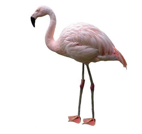 pink flamingos pink flamingo pictures freaking news