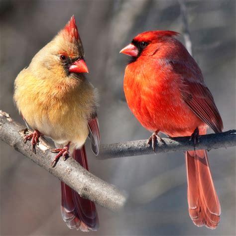 canadian geographic photo club cardinal birds jpg