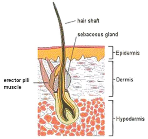 a protein that thickens and waterproofs the skin is human skin anatomy diagrams information health guides