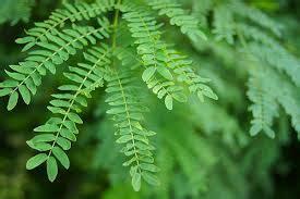 manfaat daun lamtoro eprisa
