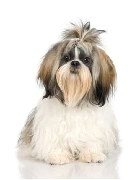 shih tzu and allergies shih tzus and allergies pets