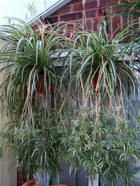 spider plant chlorophytum comosum guide  house plants