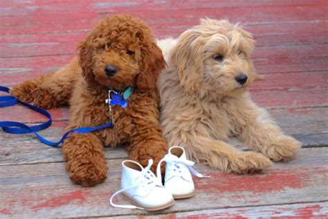 mini doodle puppies for sale home page timberidge goldendoodles
