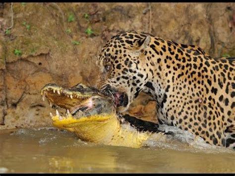 imagenes de la jaguar jaguar mata a cocodrilo la fuerza de los jaguares youtube