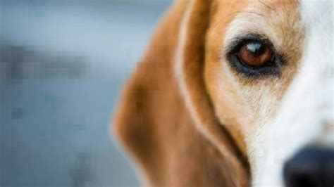 common eye problems  dogs healthy paws