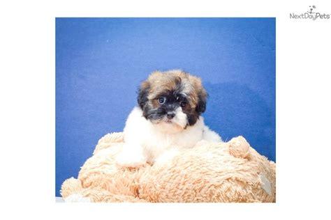 teacup havanese price havanese puppy for sale near columbus ohio ef4ab500 b731