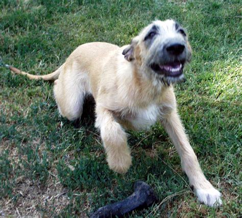 wolfhound puppies for adoption gentle giants rescue and adoptions