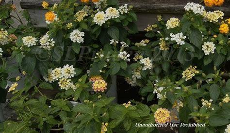 Gardens Dearborn by Plantfiles Pictures Lantana Pina Colada Lantana Camara By Daylilyslp