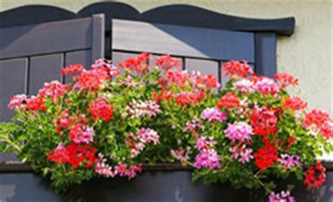 pflanzzeit geranien balkon geranien pflege pelargonien 252 berwintern vermehren d 252 ngen