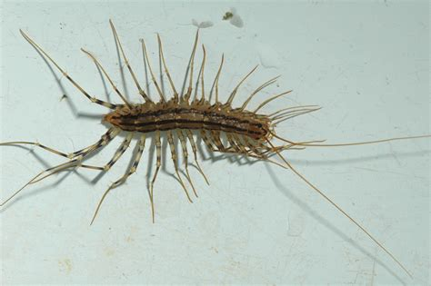 Image Gallery House Bugs And Insects Tiny Centipede In House