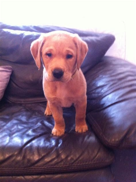 fox lab puppies for sale fox lab puppies for sale barnet hertfordshire