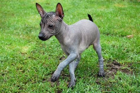 hairless puppies for sale miniature mexican hairless puppies for sale basildon essex pets4homes