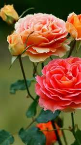 coral colored roses coral colored roses gardens plants and flowers