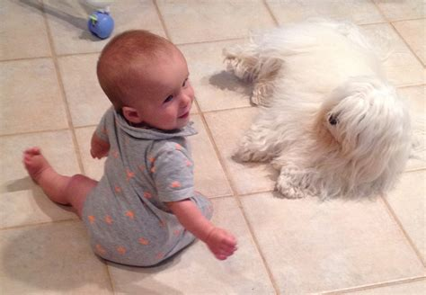 royal flush havanese image gallery havanese in florida
