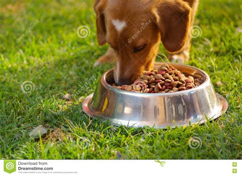cute dog eating from bowl stock photo image 61440749 cat eating natural food from a bowl royalty free stock