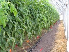 How To Trellis Tomatoes Tomatoes Are Growing In Vermont Greenhouses Uvm Food