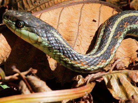 Garter Snake Habitat Common Garter Snake Willapa U S Fish And Wildlife Service