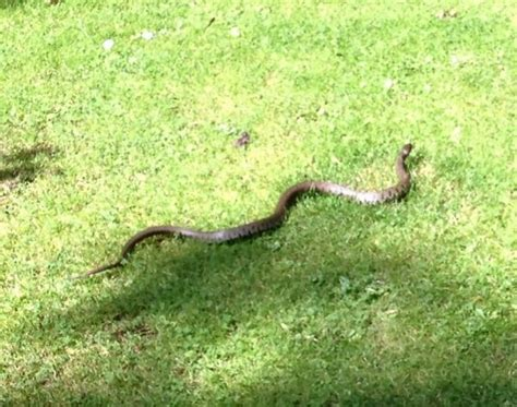 Garden Snake Size Identify Snake From My Garden Reptiles And