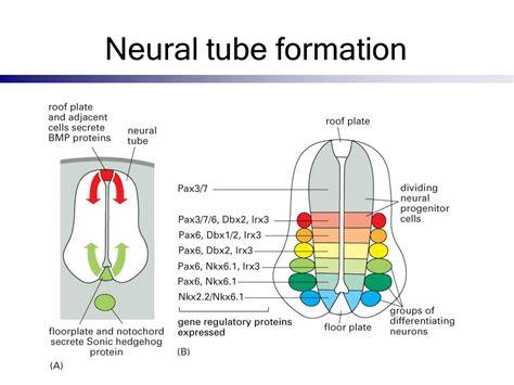 pattern formation of neural tube development of nervous system ppt video online download