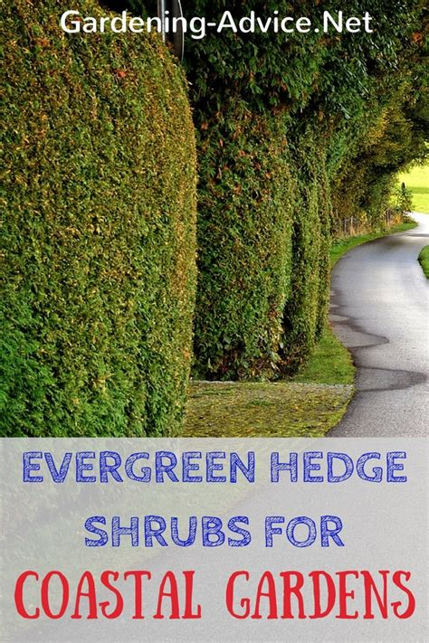 best evergreen hedge the best evergreen shrubs for hedges in coastal gardens