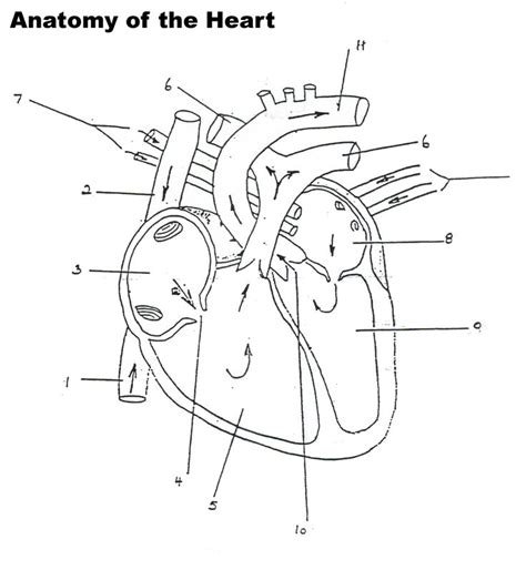 human heart worksheet blank professional development heart anatomy circulatory system