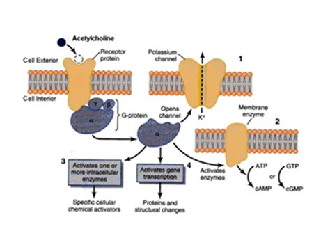 Muscarinic Antagonist Also Search For Receptors Muscarinic Muscarinic Receptors Muscarinic Acetylcholine Receptors